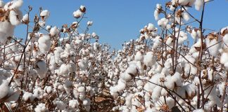 ndia-exports-1-5-lakh-bales-cotton-china-since-tariff-war-us