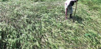 unseasonal-rain-damages-crops-north-india