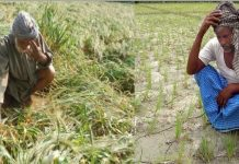 chana-farmers-lose-rs-6170-crore